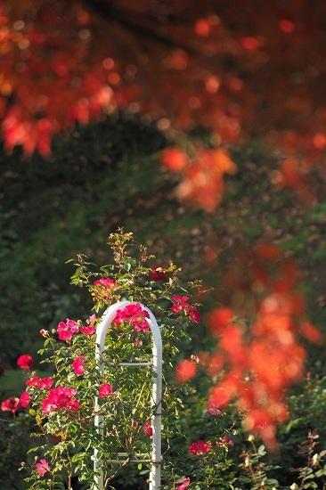 旧古河庭園の紅葉_e0348392_09060034.jpg