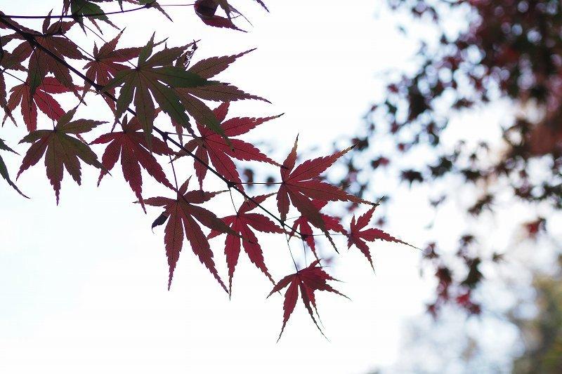旧古河庭園の紅葉_e0348392_09064423.jpg