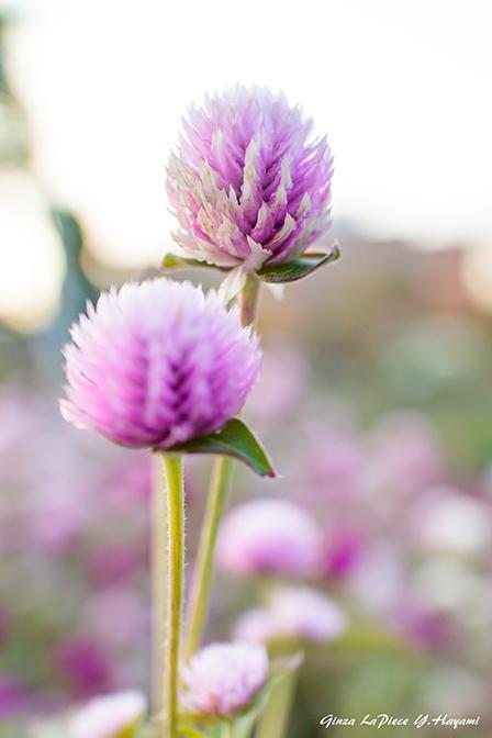 花のある風景 逆光のセンニチコウ_b0133053_01122688.jpg