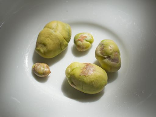 ロンコンの種子(lonkong seeds)