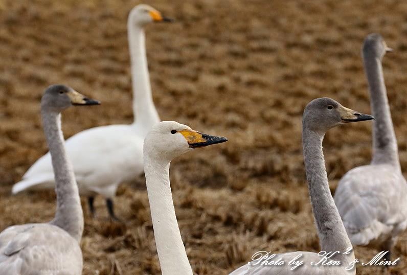 伊豆沼の朝日「塒立ち」♪ 感動しました(*^^*) そして・・沢山の鳥さん達♪_e0218518_16503583.jpg