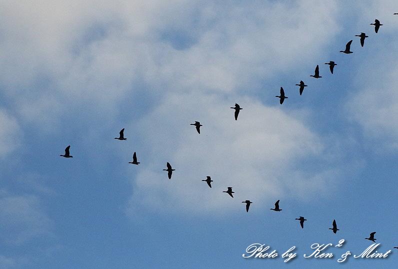伊豆沼の朝日「塒立ち」♪ 感動しました(*^^*) そして・・沢山の鳥さん達♪_e0218518_16513470.jpg