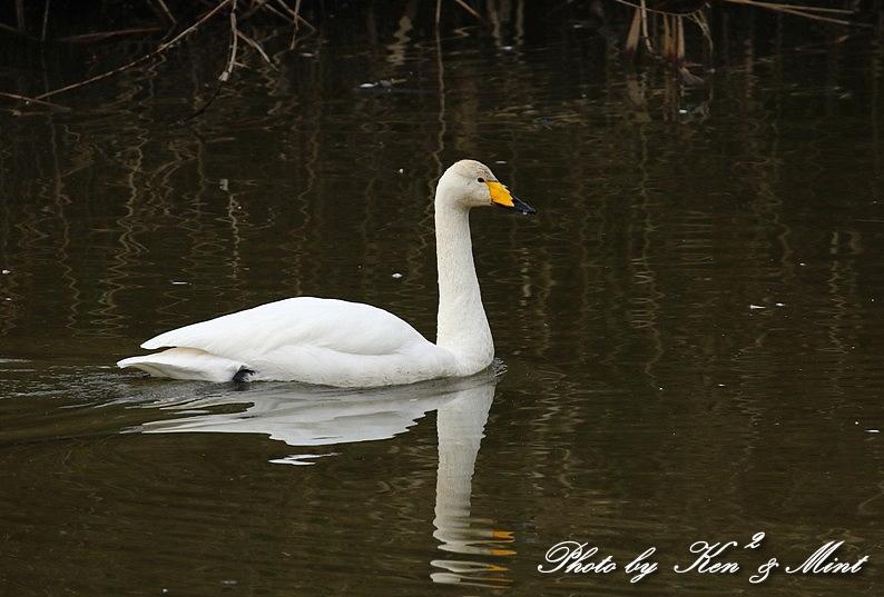 伊豆沼の朝日「塒立ち」♪ 感動しました(*^^*) そして・・沢山の鳥さん達♪_e0218518_16514714.jpg