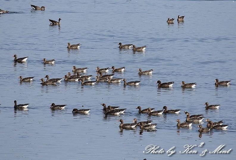 伊豆沼の朝日「塒立ち」♪ 感動しました(*^^*) そして・・沢山の鳥さん達♪_e0218518_16531031.jpg
