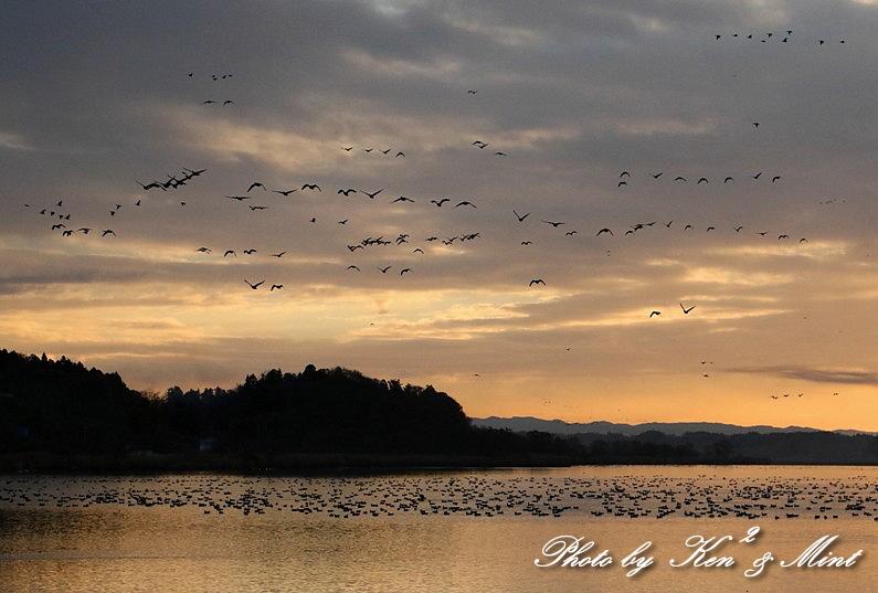 伊豆沼の朝日「塒立ち」♪ 感動しました(*^^*) そして・・沢山の鳥さん達♪_e0218518_18380201.jpg