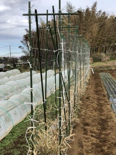 玉葱の定植 エンドウ豆のネット張り_c0222448_13360290.jpeg