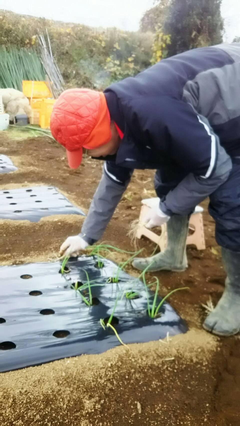 玉葱の定植 エンドウ豆のネット張り_c0222448_15395048.jpeg