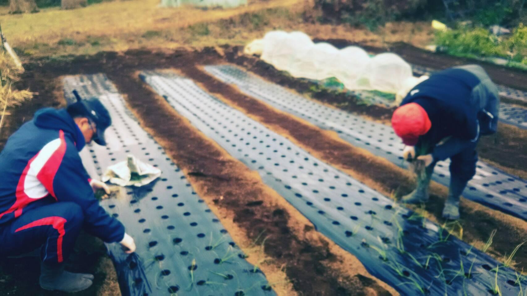 玉葱の定植 エンドウ豆のネット張り_c0222448_15401144.jpeg