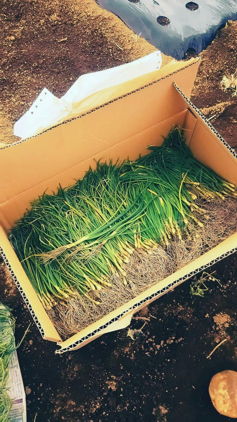 玉葱の定植 エンドウ豆のネット張り_c0222448_15404772.jpeg