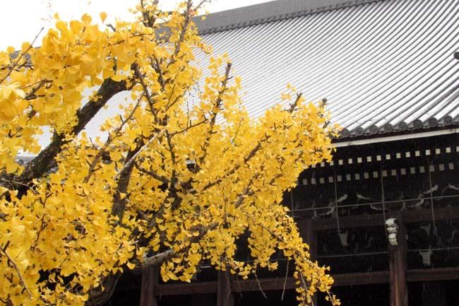 西本願寺 逆さイチョウ _e0048413_21010381.jpg
