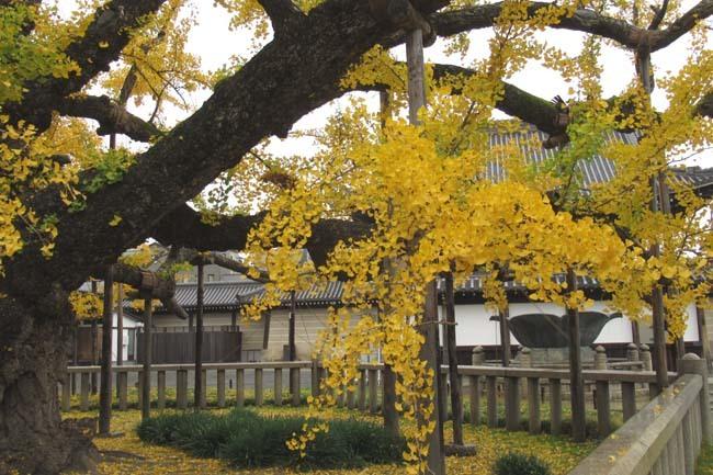 西本願寺 逆さイチョウ _e0048413_21010711.jpg