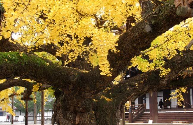 西本願寺 逆さイチョウ _e0048413_21011191.jpg