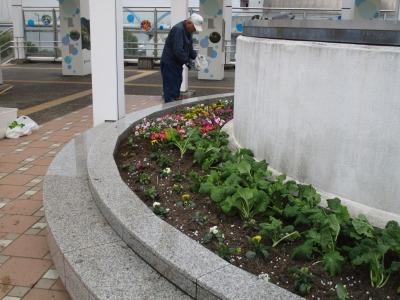 名古屋港水族館前花壇の植栽H30.12.7_d0338682_08395397.jpg