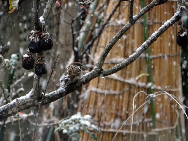 すずめちゃん、いきなり真冬の天気に・・・_a0136293_17013003.jpg