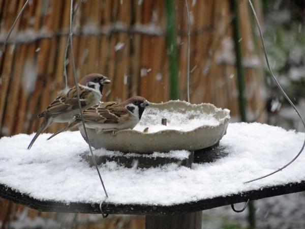 すずめちゃん、いきなり真冬の天気に・・・_a0136293_17033239.jpg