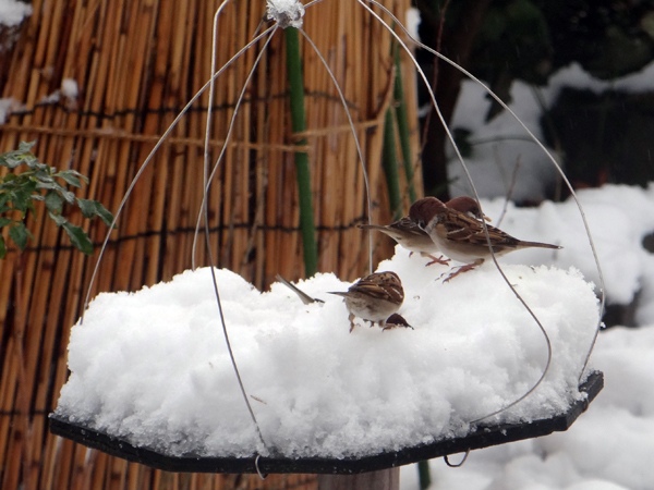 すずめちゃん、いきなり真冬の天気に・・・_a0136293_17065498.jpg