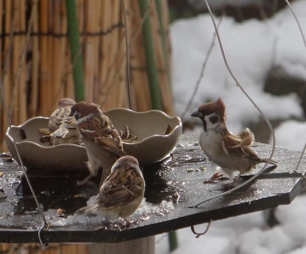 すずめちゃん、いきなり真冬の天気に・・・_a0136293_17191613.jpg