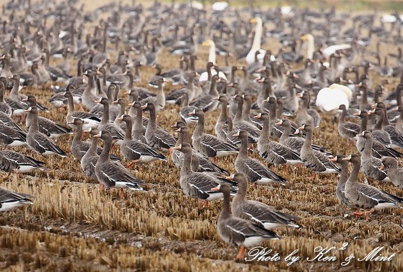 夕日も綺麗♪ 塒入りを待っていたら・・すごい数の鳥達が!!!_e0218518_18155664.jpg