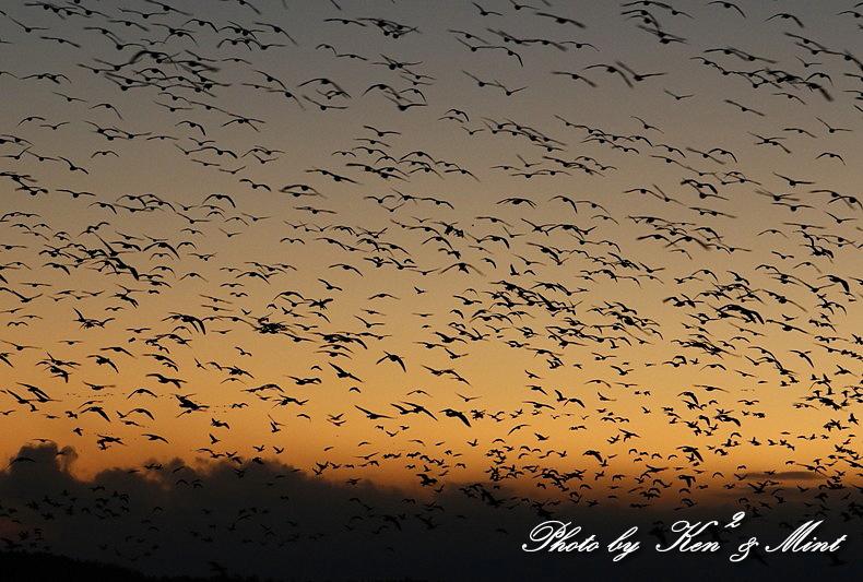 夕日も綺麗♪ 塒入りを待っていたら・・すごい数の鳥達が!!!_e0218518_18421299.jpg