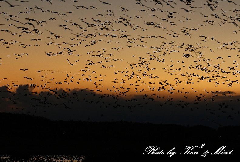 夕日も綺麗♪ 塒入りを待っていたら・・すごい数の鳥達が!!!_e0218518_18422553.jpg