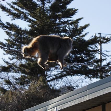 猿、来襲_f0209754_21424032.jpg