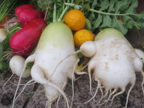 冬野菜をとってきた - 丹後半島 のんびり気まま暮らし