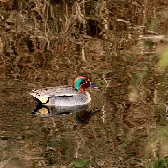 師走の晴天輝く水面のコガモ   NZK_d0346713_19570549.jpg