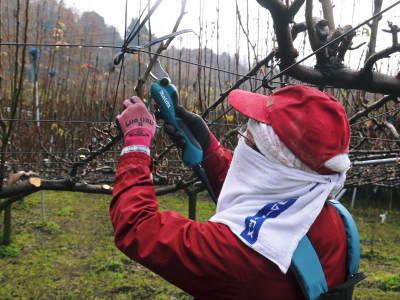 熊本梨 本藤果樹園 平成31年度も美味しい梨を育てるために、匠の冬の剪定作業スタートしました!_a0254656_16131076.jpg