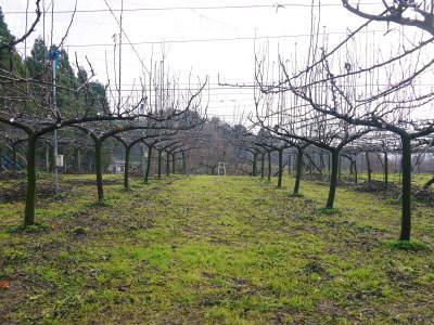 熊本梨 本藤果樹園 平成31年度も美味しい梨を育てるために、匠の冬の剪定作業スタートしました!_a0254656_16141043.jpg