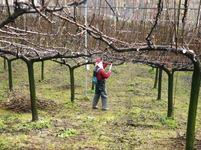 熊本梨 本藤果樹園 平成31年度も美味しい梨を育てるために、匠の冬の剪定作業スタートしました!_a0254656_16161513.jpg