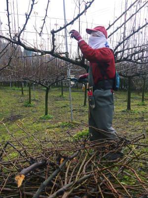 熊本梨 本藤果樹園 平成31年度も美味しい梨を育てるために、匠の冬の剪定作業スタートしました!_a0254656_16251966.jpg