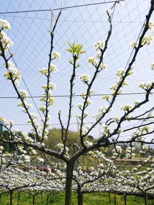 熊本梨 本藤果樹園 平成31年度も美味しい梨を育てるために、匠の冬の剪定作業スタートしました!_a0254656_16363015.jpg