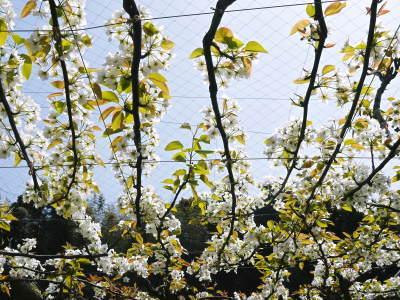 熊本梨 本藤果樹園 平成31年度も美味しい梨を育てるために、匠の冬の剪定作業スタートしました!_a0254656_16375811.jpg
