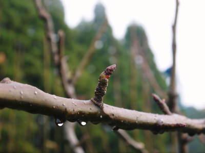 熊本梨 本藤果樹園 平成31年度も美味しい梨を育てるために、匠の冬の剪定作業スタートしました!_a0254656_16400102.jpg