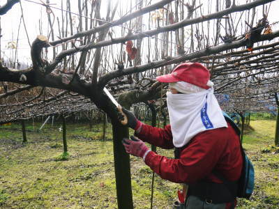 熊本梨 本藤果樹園 平成31年度も美味しい梨を育てるために、匠の冬の剪定作業スタートしました!_a0254656_17031040.jpg