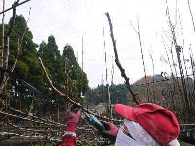 熊本梨 本藤果樹園 平成31年度も美味しい梨を育てるために、匠の冬の剪定作業スタートしました!_a0254656_17060265.jpg