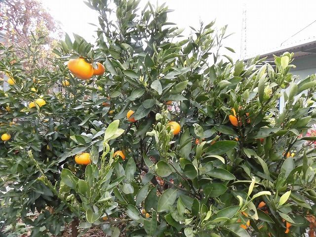 今夜あたりから柚子湯で身体のケアを! 我が家のユズとミカンを収穫_f0141310_07271565.jpg