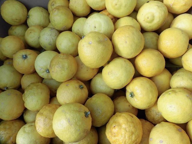 今夜あたりから柚子湯で身体のケアを! 我が家のユズとミカンを収穫_f0141310_07272699.jpg