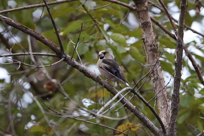冬鳥のシメを撮る_f0239515_18571956.jpg