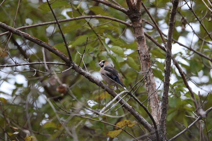 冬鳥のシメを撮る_f0239515_1857459.jpg