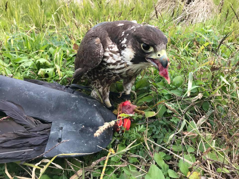 野生傷病鳥(ハヤブサ)のトレーニング_c0132048_15285712.jpg