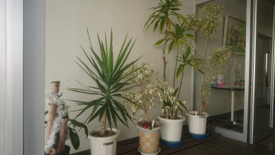 観葉植物の貸出をしています!_d0338682_10042209.jpg