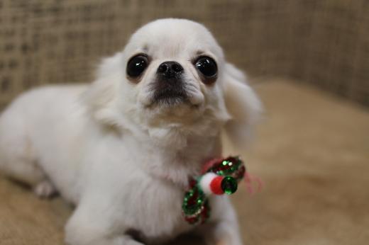 12月19日ご来店のわんちゃんです!!_b0130018_18582231.jpg