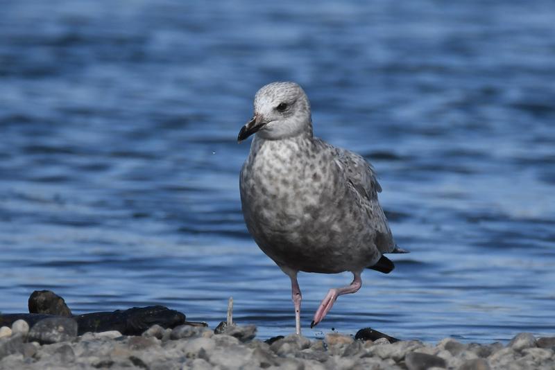 セグロカモメ幼鳥_e0097534_10541586.jpg