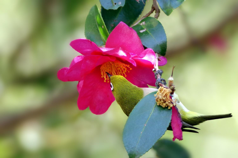 山茶花(サザンカ)とメジロ_f0215767_16525362.jpg
