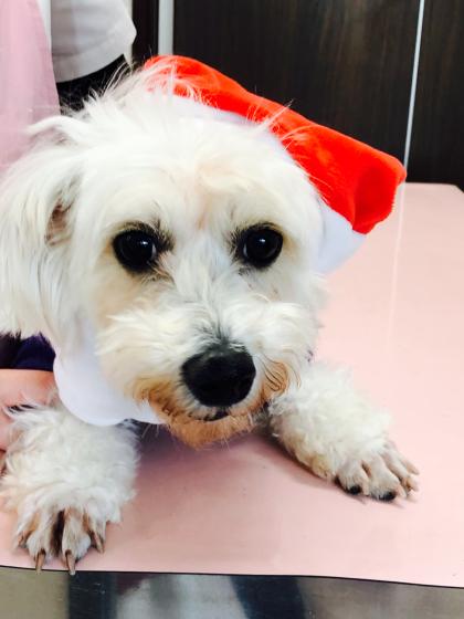 12月23日、保護犬カフェ、出場のビションちゃん☆_c0245679_15334231.jpg