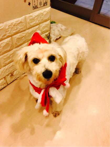 12月23日、保護犬カフェ、出場のビションちゃん☆_c0245679_15341393.jpg