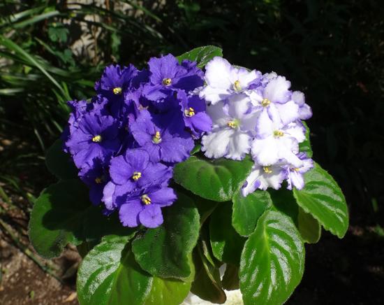 葉挿しから現れた二色咲きのセントポーリア♪_a0136293_14090455.jpg