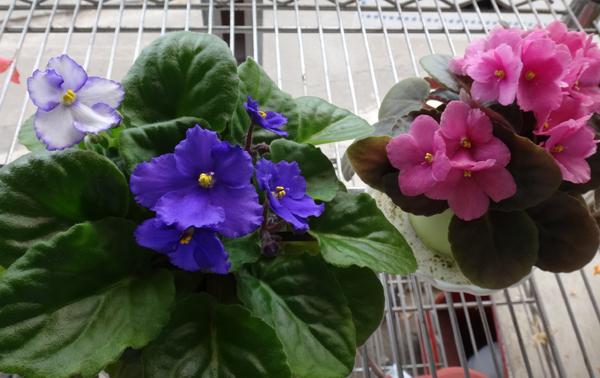 葉挿しから現れた二色咲きのセントポーリア♪_a0136293_15331428.jpg
