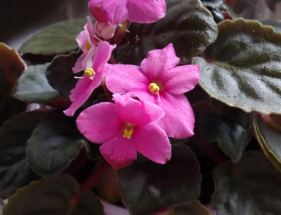 葉挿しから現れた二色咲きのセントポーリア♪_a0136293_15473409.jpg